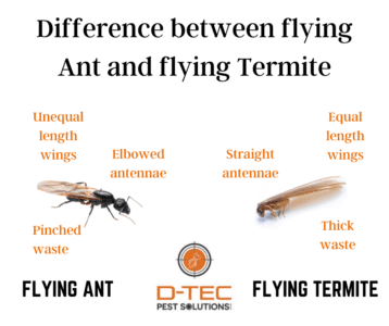 Difference Between Flying Ant & Flying Termite