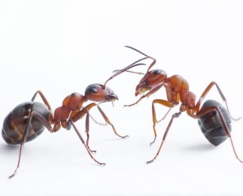 D-Tec Pest Solutions - Ants